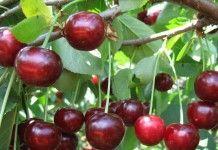 Всё о дюках – гибридах вишни и черешни - Сад и огород