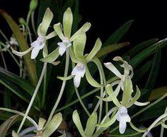 """neofinetia falcata hisui   Hisui - the translated name is """"jade"""