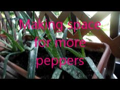 Making space for more peppers
