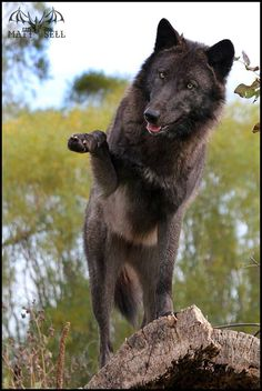 Black Wolf by Matt Sell - Devinart Wolf Images, Wolf Photos, Wolf Pictures, Wolf Spirit, My Spirit Animal, My Animal, Beautiful Wolves, Animals Beautiful, Canis Lupus