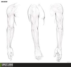 Anatomy Resource: The Arms by *ConceptCookie on deviantART ✤ || CHARACTER DESIGN REFERENCES | キャラクターデザイン • Find more at https://www.facebook.com/CharacterDesignReferences if you're looking for: #lineart #art #character #design #animation #draw #reference #anatomy #artist #pose #gestures #how #to #tutorial #comics #conceptart #modelsheet #elbow #supraspinatus #deltoids #triceps #biceps #shoulders #shoulder #forearms #forearm #wrists #wrists #arm #arms #radius #humerus #ulna || ✤