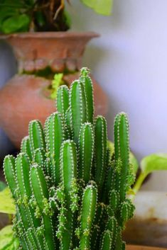 132 Types of Cacti (A to Z Photo Database) - Garden Types Types Of Cactus Plants, Kinds Of Cactus, Cactus House Plants, Cacti And Succulents, Cacti Garden, Types Of Succulents, Small Plants, Indoor Cactus Types, Succulent Planters