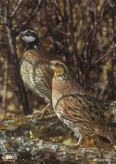 Did you know that bobwhite quail hens can raise two to three broods each breeding season? More cool things you should know about bobwhite quail | Iowa DNR
