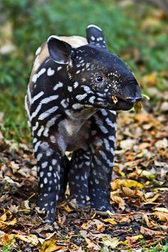 ~~Baby Tapir ~ baby Malayan Tapir showing its juvenile markings by sparky2000~~
