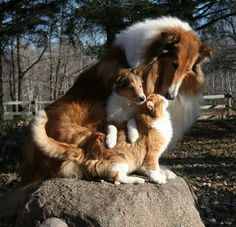 Photo Copyright, Property of Northern Classic Collies