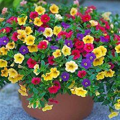 2-cvece42-6/ petunia uzgoj