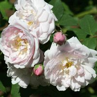 Top Roses for Gardens in the South