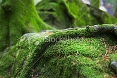 Mossy Forest Ground (Royalty Free Stock Photo) (...by me)