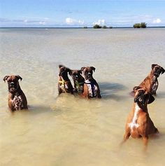 The Wading Boxers