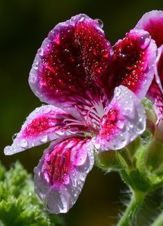 raindrops on a cherry red with pink flower - sort of a pansy #DdO:) - https://www.pinterest.com/DianaDeeOsborne/flowers-beyond-expected/ - FLOWERS BEYOND EXPECTED. Pinned via Liz Ellis's #ENCHANGED #PINTEREST board.