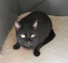 Meet Ajax, a Petfinder adoptable Domestic Short Hair-black Cat | Thousand Oaks, CA | This may look like an ordinary black cat but it is not. His mom is a Siamese and even though he...