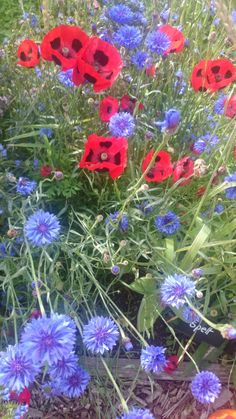 Red poppies and cornflowers