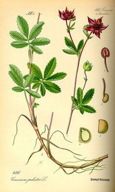 Siedmiopalecznik błotny: zdjęcie - bagno pięciornik inaczej Potentilla Palustris