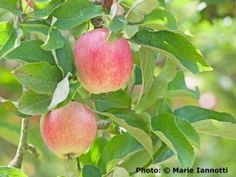 Tips for the Orchard - including why chives are great planted under apple trees