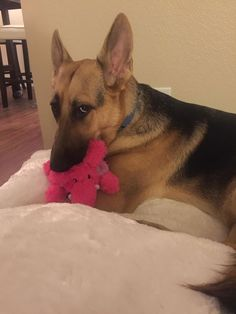 German Shepherd dog likes to sleep with stuffed animals