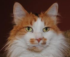 Petango.com – Meet Sydney, a 5 years 4 months Domestic Medium Hair / Mix available for adoption in MISSION, KS