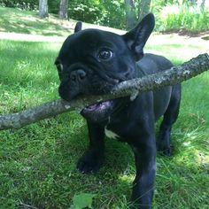 """""""Ok Mom, throw it!!"""", French Bulldog Puppy with the biggest Stick EVER!❤️"""