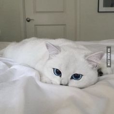 One of the most beautiful cat I have ever seen...