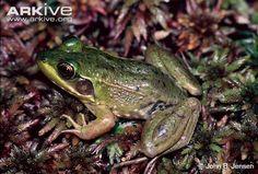 Florida bog frog videos, photos and facts - Lithobates okaloosae | ARKive