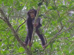 Chimps plan ahead for a good breakfast-New research shows that chimpanzees plan ahead, and sometimes take dangerous risks, to get to the best breakfast buffet early...