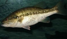 Surefire Tactics for Catching Fall Bass