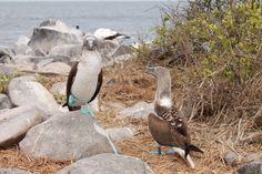 Blaufußtölpel in Love | Galapagos Reise