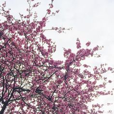 Cherry blossoms in February! Spring is almost here  #spotted #forreal #sakura #cherryblossom #seattle