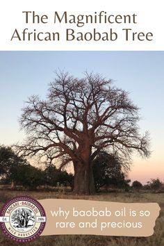 Did you know?  Baobab trees take a long time to mature.  It can take a baobab up to 200 years before it produces it's first fruit  – the oblong green-brown furry pods which contain the nutrient-dense baobab powder and the baobab seeds which are cold-pressed to produce baobab oil.  Each seed only yields 5% oil which is why baobab oil is so rare and precious.  #baobab #baobaboil #baocareskincare #madeinafrica #southafricanskincare #baobabskincare #naturalskincare Baobab Seeds, Baobab Oil, Baobab Tree, Baobab Powder, African Tree, Natural Healing, Green And Brown, Natural Skin Care, Trees
