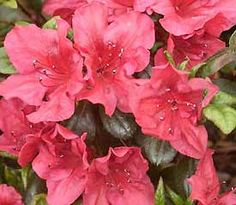 Rhododendron  'Johanna'