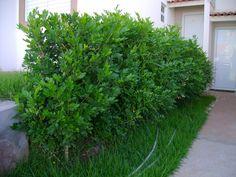 Murta-de-cheiro - Murraya paniculata - folhagem usada para fazer arranjos florais.