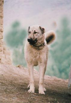 Sivas Kangal.Çoban Köpeği..  TÜRKİYE...
