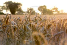 Fields of Gold Long stretch of summer laid out in a field of corn Fields Of Gold, Large Prints, Art For Sale, Art Gallery, Universe, Layout, Earth, Places, Flowers