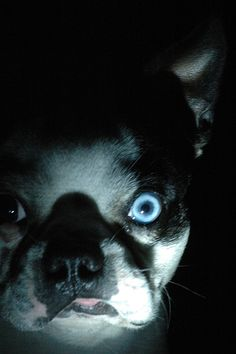 Boston Terrier With Blue Eye