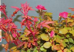 Rose disease, bunches of bright-red new shoots. even on knockout roses