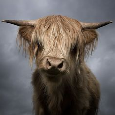 Vaca's Scottish cousin wants to remind you all to keep moo-ving! Scottish Highland Cow, Highland Cattle, Scottish Highlands, Amazing Animals, Animals Beautiful, Beautiful Images, Beautiful Artwork, Beautiful Creatures, Farm Animals
