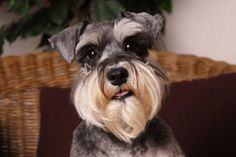 Schnauzer of the Month winner - Daisy Schnauzers, Mini Schnauzer Puppies, Miniature Schnauzer, Cocker Spaniel Dog, Dog Pin, Dog Agility, Cute Dogs And Puppies, Small Breed, Dog Accessories