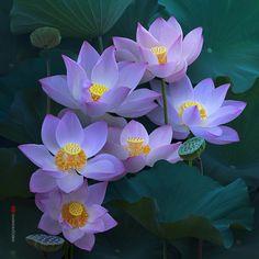 Мобильный LiveInternet Замечательные фотографии прекрасного растения лотос... Фотограф Duong Quoc Dinh | Luzi - Дневник Luzi |