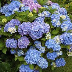 My absolute favorite flower--Endless Summer Hydrangea