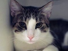Please save this gorgeous kitty from death at ACC shelter in New York City URGENT visit pets on death row on Facebook. Will be killed tomorrow.