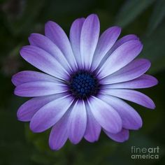 Gerbera Daisy In Purple Art Print by Susan Parish. All prints are professionally printed, packaged, and shipped within 3 - 4 business days. Choose from multiple sizes and hundreds of frame and mat options. Lila Tattoos, Purple Tattoos, Purple Butterfly Tattoo, Petite Tattoos, Color Tattoos, Purple Daisy, Purple Art, Purple Canvas, Blue