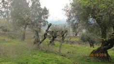 Colhereira de Baixo - Santo António das Areias - Marvão (Trabalhos agricolas - procede- se `à limpeza das oliveiras)