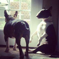 Heather's Bullies #bullterrier #dogs #puppy