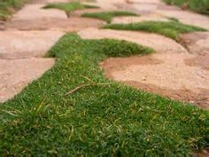 irish moss ground cover - Bing Images