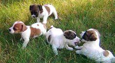 Allevatore dispone di cuccioli di razza Jack Russell Terrier, con pedigree.  disponibili da Marzo 2013 - See more at: http://annuncigratistop.it/ads/cuccioli-di-jack-russell-terrier-2/#sthash.Gy7nPC5x.dpuf