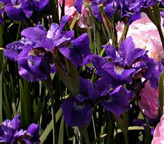Gorgeous blue Iris -- will someone please come and plant acres of these for me?