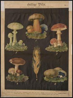 Paddenstoelentijd! #herfst #autumn -  Die Giftpflanzen Deutschlands (collectie Universiteitsmuseum Utrecht)
