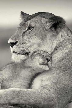 Baby lion cub w mama mother so cute Tier Wallpaper, Animal Wallpaper, Seagrass Wallpaper, Paintable Wallpaper, Emoji Wallpaper, Colorful Wallpaper, Fabric Wallpaper, Animals And Pets, Baby Animals