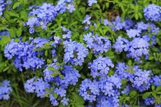 26 Flowers That Bloom All Year Round | Permanent Flowering Plants Long Blooming Perennials, Hardy Perennials, Hardy Plants, Flowers Perennials, Growing Flowers, Planting Flowers, Flowering Plants, Perennial Border Plants, Shrubs For Borders