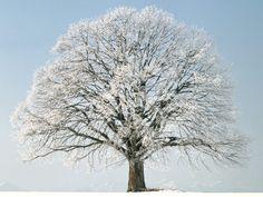 Beautiful lone snow covered tree