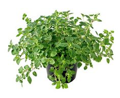 Oregano    Also known as Pot Marjoram, Origanum vulgare is a perennial herb and a native of the Mediterranean region. The plant grows to over two feet tall and has oval grayish-green leaves that are frequently used in pizza, spaghetti and marinara sauces, plus many other Italian dishes. It also complements beef or lamb stews, gravies, salads, soups, even tomato juice. It's small flowers can be lilac, pink, purple, or white.